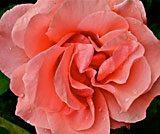 """O'Keefe Rose 4/5"" Photograph on Plexiglass, 36"" x 30"" $3,000"
