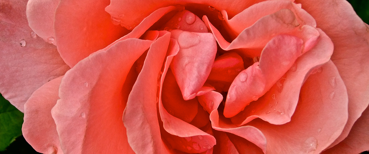 Kathryn-Rabinow-O'Keefe-Rose-slide