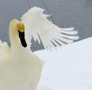 Sandra Lee Kaplan - Swan in Snow