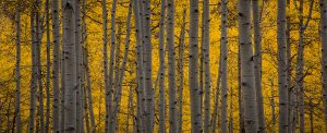 Devin Pool - Peaking Aspens