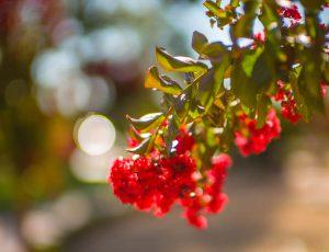 Tom Korologos - Crimson Beauty Bloom 2