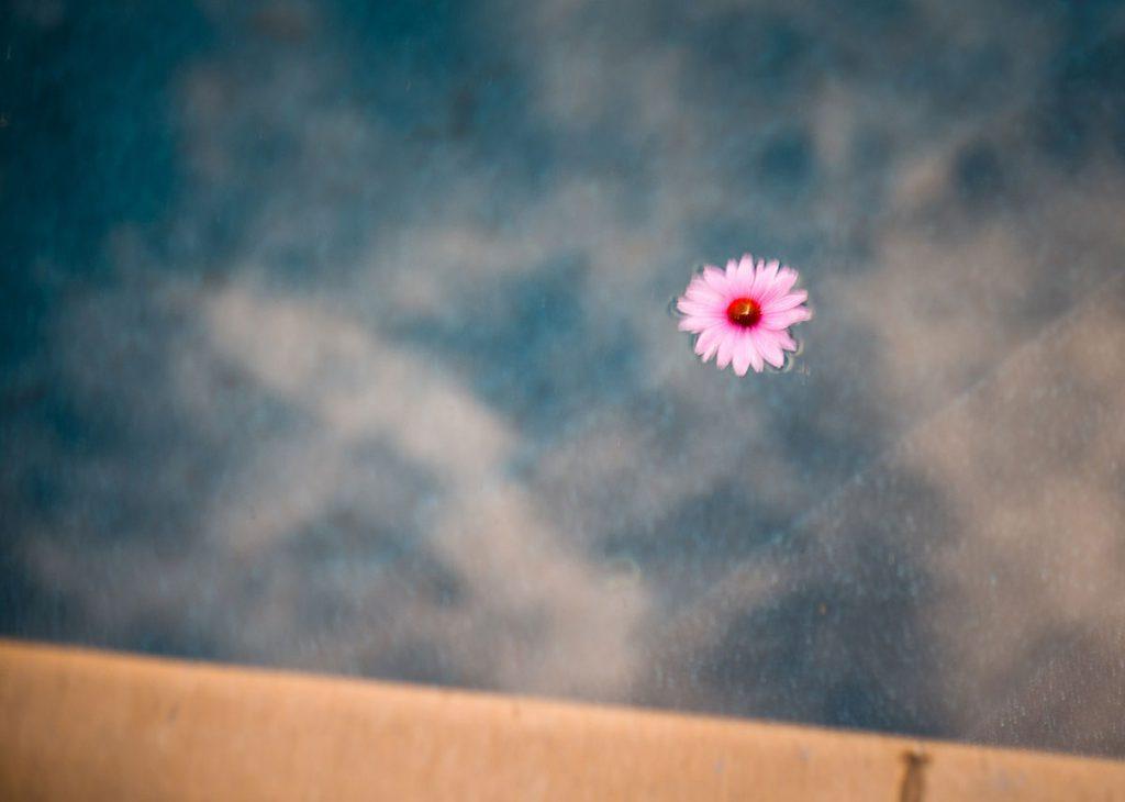 Tom Korologos - Floating Pink Petals 2