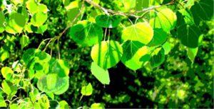 Kathryn  Rabinow  - Aspen Leaves Summer 1/5