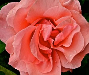 Kathryn  Rabinow  - O'Keefe Rose 2/2