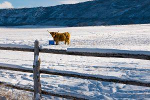 Tom Korologos - Scottish Highland Cow in Colorado #2