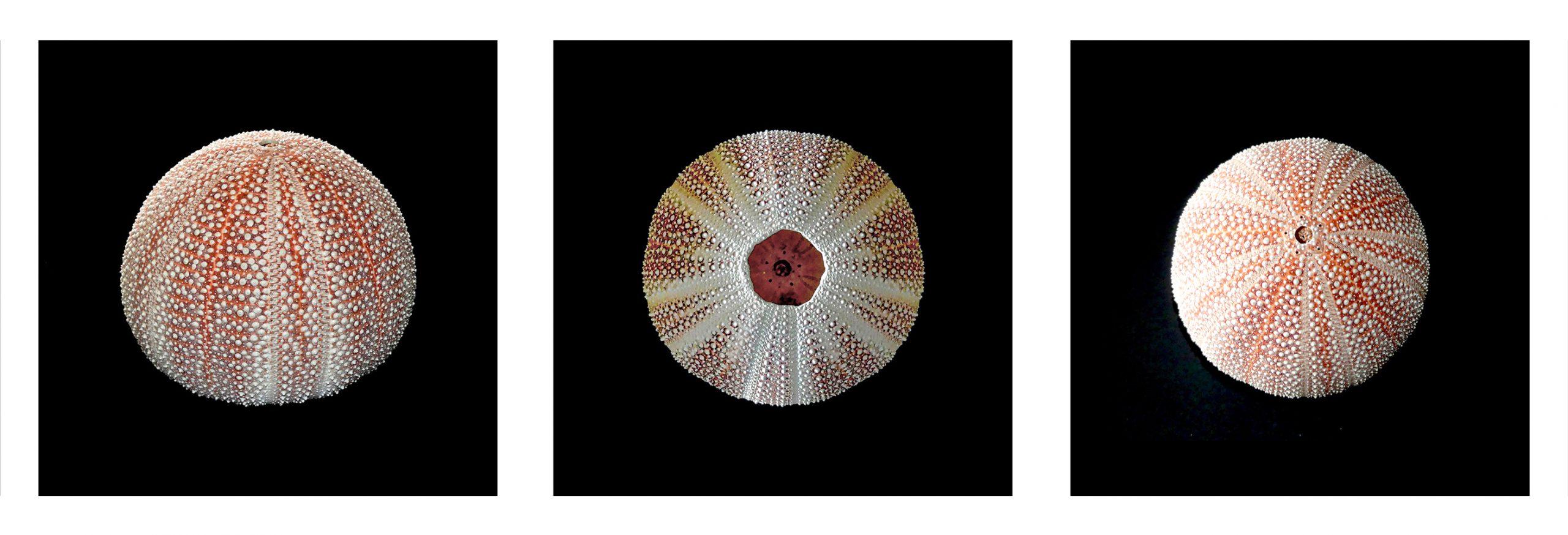 Kathryn  Rabinow  - Urchins (triptych) 1/3